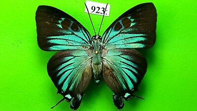 LYCAENIDAE Atlides polybe / Thecla polybe MALE  from PERU mounted #923