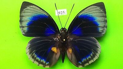 NYMPHALIDAE Agrias hewitsonius beata MALE from PERU mounted #925