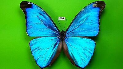 MORPHIDAE Morpho absoloni MALE from PERU mounted #500