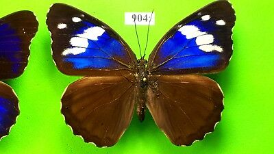 NYMPHALIDAE Eunica alpais excelsa PAIR !!! from PERU mounted #943-904
