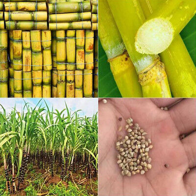 100Pcs Sugarcane Seeds Vegetable Fruit Rock Candy Easy Growing Edible Plants CA