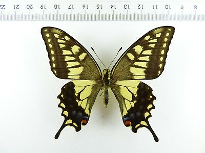 ++ Schmetterling: Papilio Machaon Hippocrates ♂ Japan