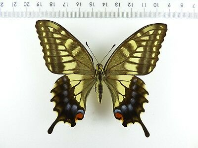 ++ Schmetterling: Papilio Machaon Hippocrates ♀ Japan