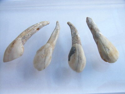 4 Ancient Neolithic Drilled Buffalo Teeth, Amulets, Stone Age, VERY RARE !!