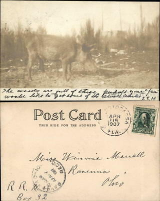 Pig 1907 RPPC Florida Wild Boar Real Photo Postcard 1c stamp