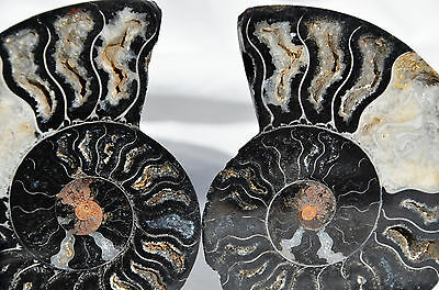 "RARE 1 in 100 BLACK PAIR Ammonite Crystal LARGE 91mm Dinosaur FOSSIL 3.6"" n2228"