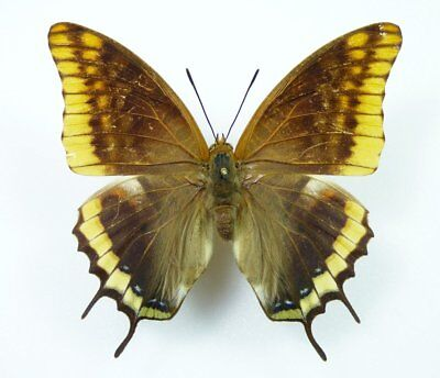 Charaxes jasius Weibchen