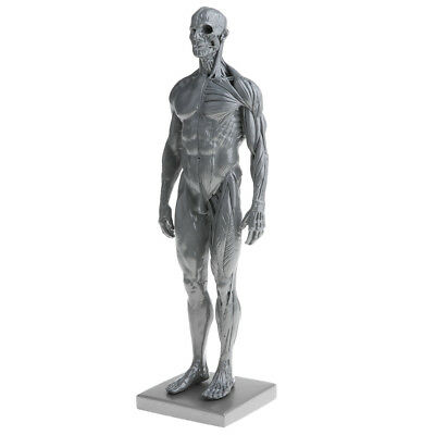 Male Superficial Muscular System Anatomical Figure Human Anatomy Model Gray