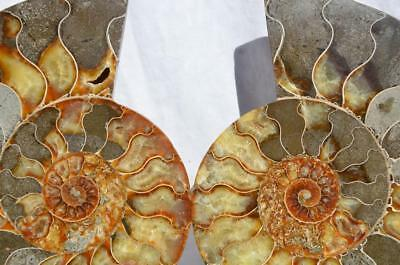 "Cut Split PAIR Ammonite Deep Crystal Cavity 110myo Fossil 205mm XXL 8.0"" 1497xx"