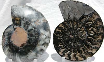 "RARE 1-n-100 BLACK Ammonite PAIR Deep Crystal 110myo FOSSIL XL 205mm 8.1"" 1521xx"