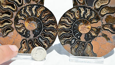 "RARE 1 in 100 BLACK PAIR Ammonite Crystal LARGE 92mm Dinosaur FOSSIL 3.6"" n1636"
