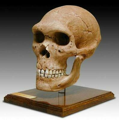 """Neanderthal Hominid Skull Fossil Full Scale Model Replica w/Stand 9"""" x 6"""" x 9"""""""