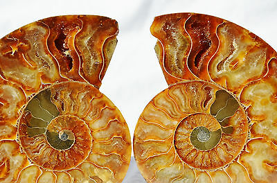 "Dinosaur PAIR Ammonite MultiColor Crystals LARGE 110mm 110myo FOSSIL 4.3"" n1671"