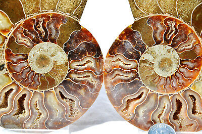 "Dinosaur PAIR Ammonite MultiColor Crystals LARGE 118mm 110myo FOSSIL 4.7"" n1681"