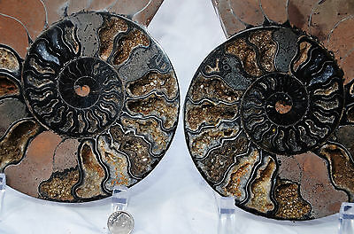 "RARE 1 in 100 BLACK Ammonite Cut Split Pair XXXXLRG 8.1"" 110myo 205mm n1347x"