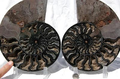 "RARE 1-n-100 BLACK Ammonite PAIR Deep Crystal 110myo FOSSIL 205mm 8.1"" 1689xx"