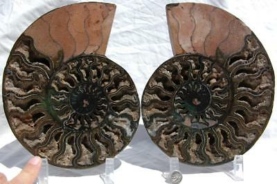 "RARE 1-n-100 BLACK Ammonite PAIR Deep Crystal 110myo FOSSIL XL 205mm 8.2"" 1737xx"