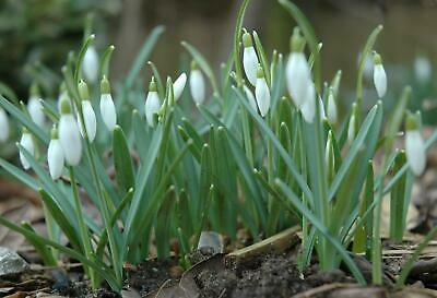 Snowdrops in the Green, Top quality Spring Flowering Bulbs