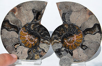 "RARE 1 in 100 BLACK PAIR Ammonite Crystal LARGE 91mm Dinosaur FOSSIL 3.6"" n2200"