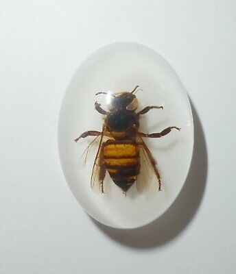 Insect Cabochon Honey Bee Apis mellifera Oval 18x25 mm on white 1 piece Lot