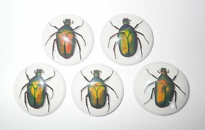 Insect Cabochon Green Rose Chafer Beetle 35 mm Round white bottom 5 pieces Lot