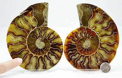 "6956 Fossil PAIR Ammonite Great Color Crystal Cavities LARGE 4.6"" 110myo 117mm"