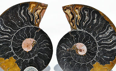 "RARE 1 in 100 BLACK PAIR Ammonite Crystal LARGE 86mm Dinosaur FOSSIL 3.4"" n1639"