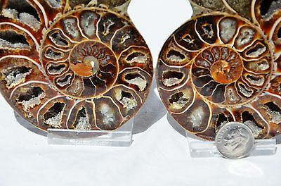 "Cut Split Pair RARE ANAPUZOSIA Ammonite D-shaped LARGE 98mm Fossil 3.9"" n8526"