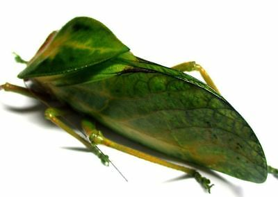 f002 Orthoptera species? 78mm A-**********************************************