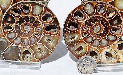 "Cut Split Pair RARE ANAPUZOSIA Ammonite D-shaped LARGE 92mm Fossil 3.6"" n8527"