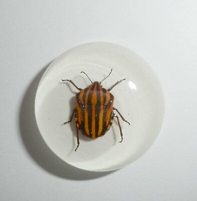 Insect Cabochon Stripe Bug Specimen 25 mm Round on white 1 piece Lot