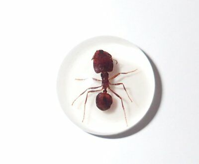 Insect Cabochon Big-head Ant Specimen Round 19 mm on white 1 Piece Lot