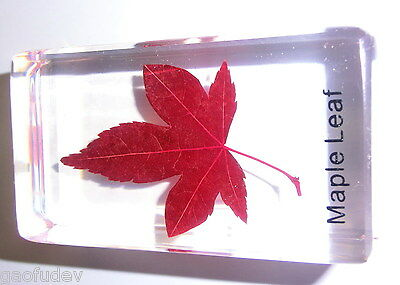 Mono Maple Leaf Acer mono in clear Block Education Plant Specimen Nameembedded