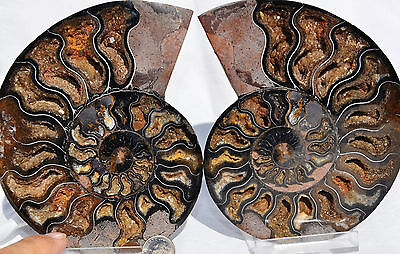 7829 PAIR Ammonite Great Color Crystal Cavities LARGE 110myo FOSSIL 144mm 5.7""
