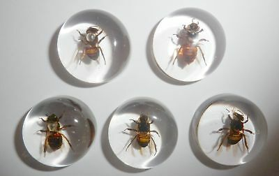 Insect Cabochon Honey Bee Apis mellifera Round 25 mm Clear 5 pieces Lot