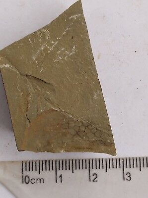 Fossil Tuzoia, interest, teaching, collection,very nice #a3