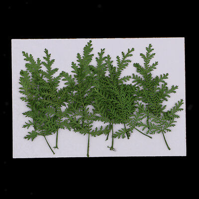 12x Pressed Real Dried Leaves Wormwood for DIY Scrapbooking Album Card Green
