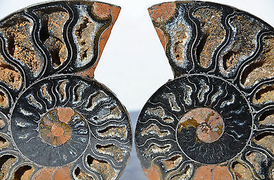 "RARE 1 in 100 BLACK PAIR Ammonite Crystal LARGE 99mm Dinosaur FOSSIL 3.9"" n1994"