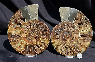 """Fossil Pair Ammonite Great Color Crystal Cavities XXLARGE 6.5"""" 165mm e2157x"""