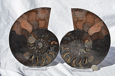 "RARE 1 in 100 BLACK Ammonite Pair 175mm Deep Crystals XLarge 6.9"" 110myo e2403x"