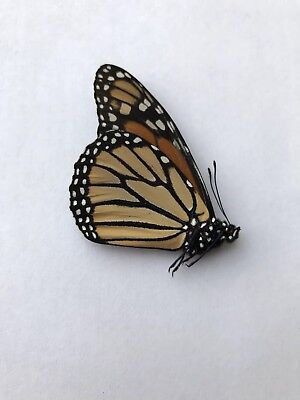 MONARCH BUTTERFLY Danaus plexippus (male) Quality specimen with collection data