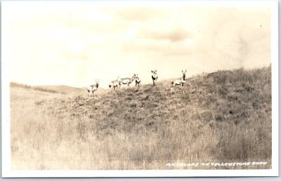 Yellowstone National Park RPPC Real Photo Postcard ANTELOPE on Hill RAOHEN Photo