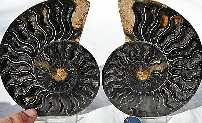 "RARE 1 in 100 BLACK PAIR Ammonite Crystal LARGE 117mm Dinosaur FOSSIL 4.6"" n1910"