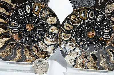 "RARE 1 in 100 BLACK PAIR Ammonite Crystal LARGE 114mm Dinosaur FOSSIL 4.5"" n1948"