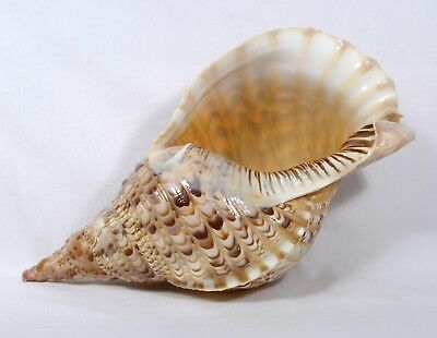 """Vintage Large Conch Shell Brown Tan 15"""" Long Beautiful!  js"""