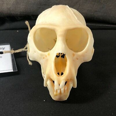 "4"" REAL Male Vervet Monkey (Chlorocebus pygerthus) Skull from South Africa"