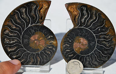 "RARE 1 in 100 BLACK PAIR Ammonite Crystal LARGE 76mm Dinosaur FOSSIL 3.0"" n2298"