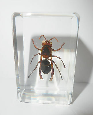 Lesser Banded Tiger Hornet in clear Paperweight Education Insect Specimen