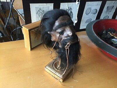 Oddities Morbid Shrunken Head Tsantsa Ecuadorian Gold Leaf Stand Gothic Display