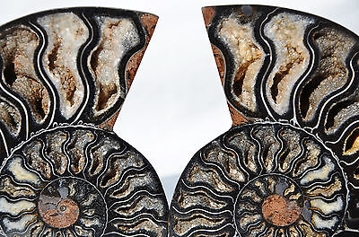 "RARE 1 in 100 BLACK PAIR Ammonite Crystal LARGE 115mm Dinosaur FOSSIL 4.5"" n2632"